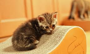 子猫(爪とぎ)