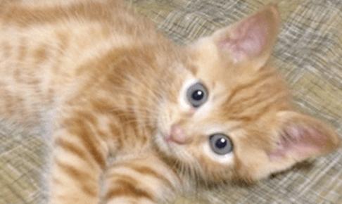 愛猫に長生きして欲しいなら-子猫から健康ご飯をはじめよう