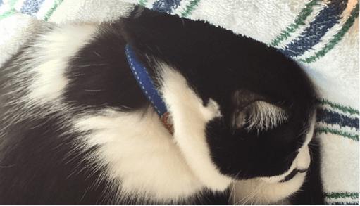 愛猫に首輪を付ける事を慣れさせるコツ