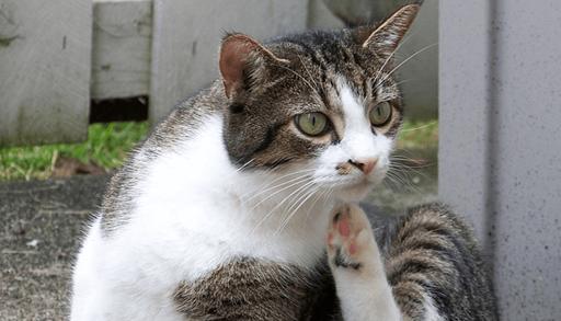 愛猫からノミを駆除する方法