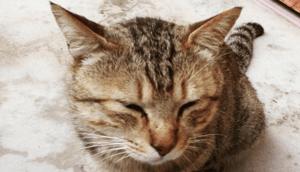 猫の尿石症の原因・症状・予防法・治療法ーこんなネコは特に注意!