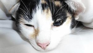 【猫の感染症】猫カゼ(猫カリシウイルス感染症・猫ウイルス性鼻気管炎・猫クラミジア感染症)の症状・予防・治療法