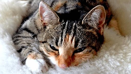 猫白血病ウイルス感染症の症状・予防・治療法ーまとめ
