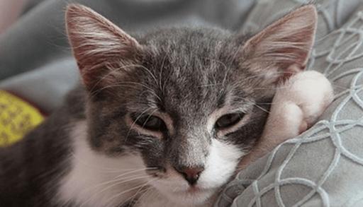 猫エイズウイルス感染症の症状・予防・治療法ーまとめ