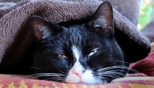 猫汎白血球減少症の症状・予防・治療法ーまとめ