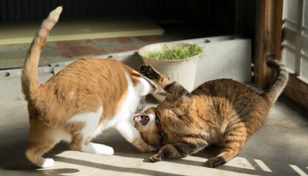 放っておくと危険かも、猫の転嫁行動とは