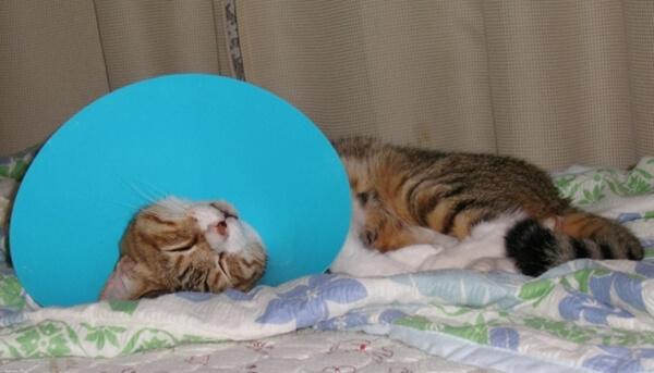 猫がかかりやすい皮膚の病気を患ってしまったのでエリザベスカラーを付けている猫