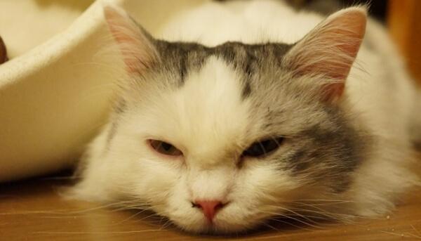 便秘による大量不良が原因でぐったりしている猫