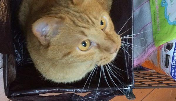 期待の気持ちでヒゲを前に反らせいる愛猫のチョビ