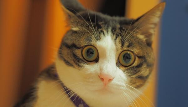 猫の性格などによってパニックになりやすい猫となりにくい猫がいる